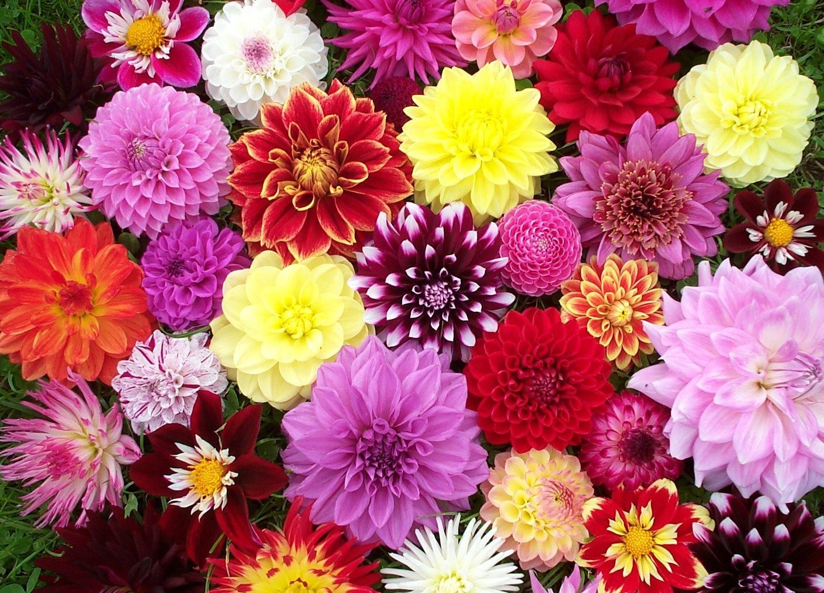 Цветы высокие для сада однолетние