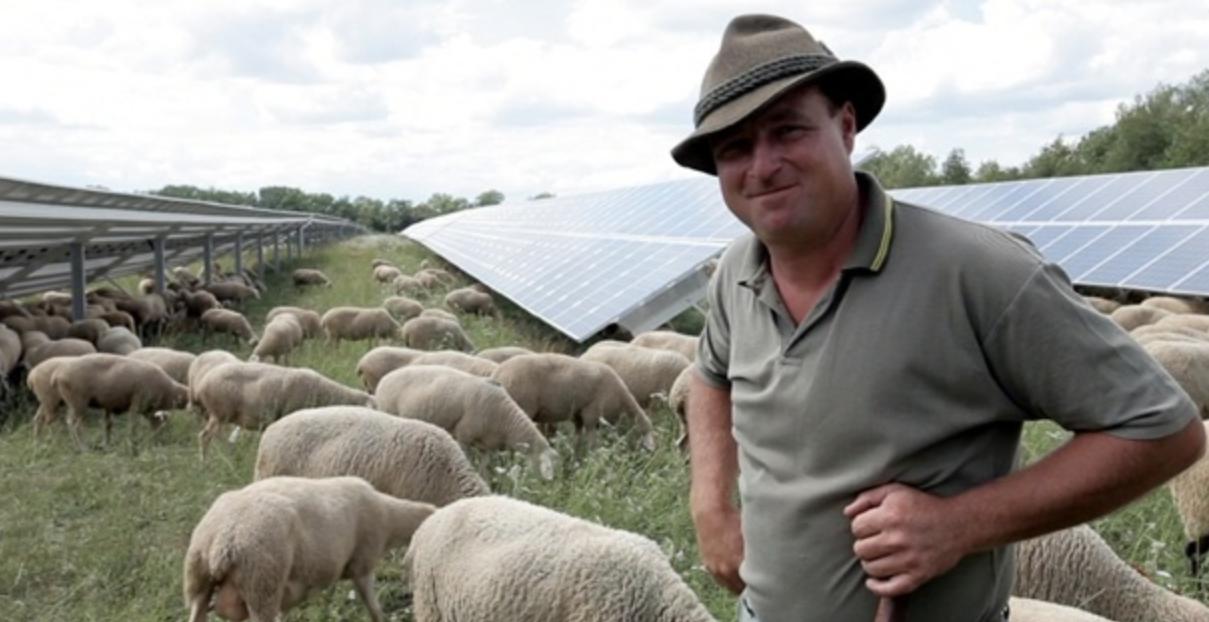 sheeps under solar panels